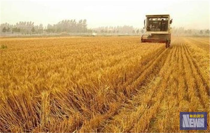 周末这场雨,对麦收影响不大